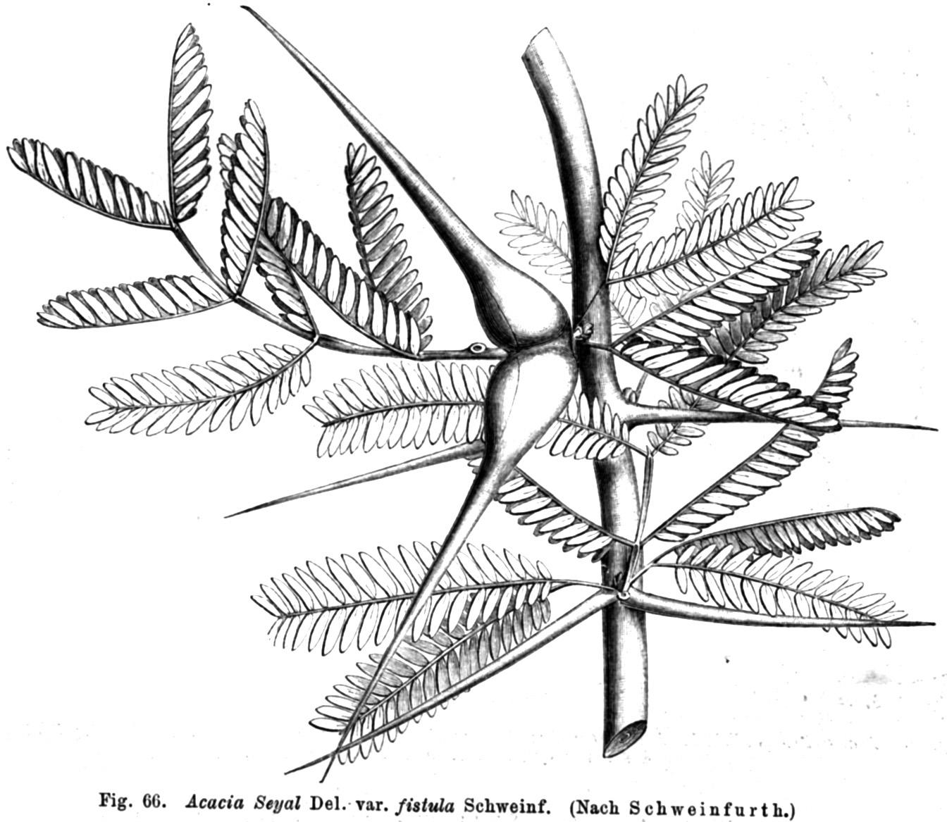 File Acacia Seyal Taub66
