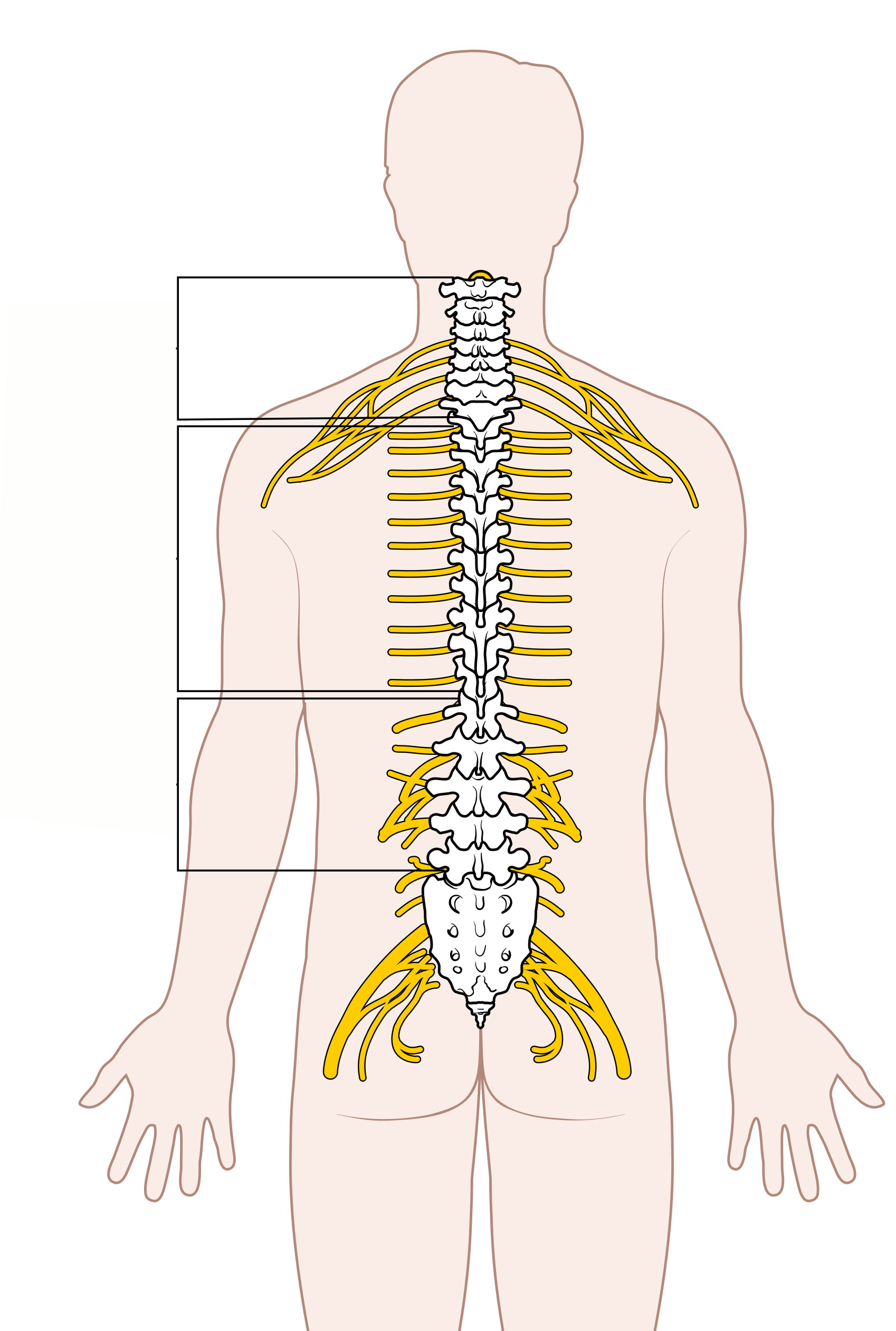 File Diagram Of The Spinal Cord Unlabeled