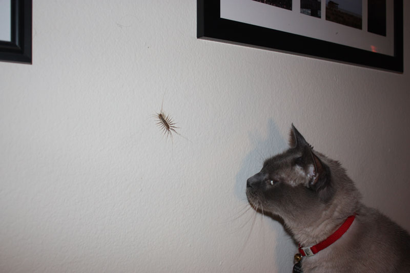 A cat staring at a house centipede on a wall.