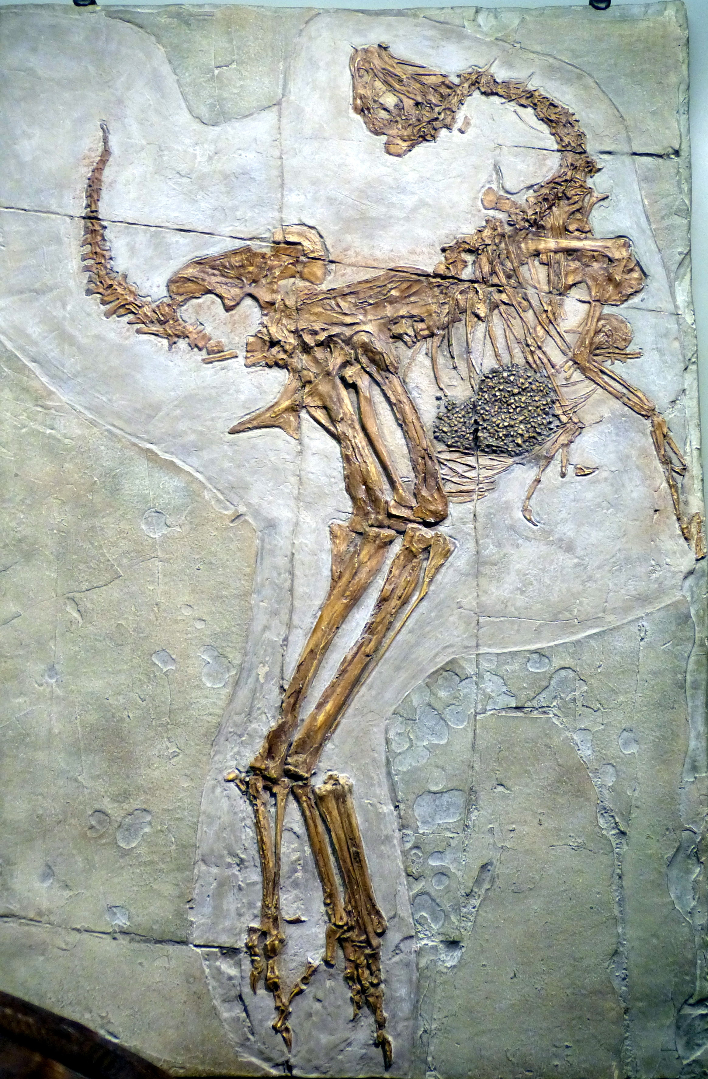 Theropod Dinosaurs Flapped Before They Could Fly Avian Flight Study Finds Inverse