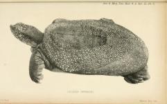 Jangtse-Riesenweichschildkröte