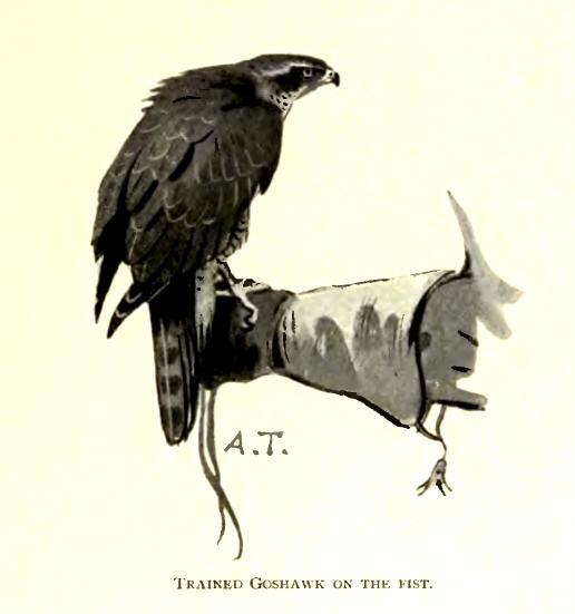 Kanahaukka