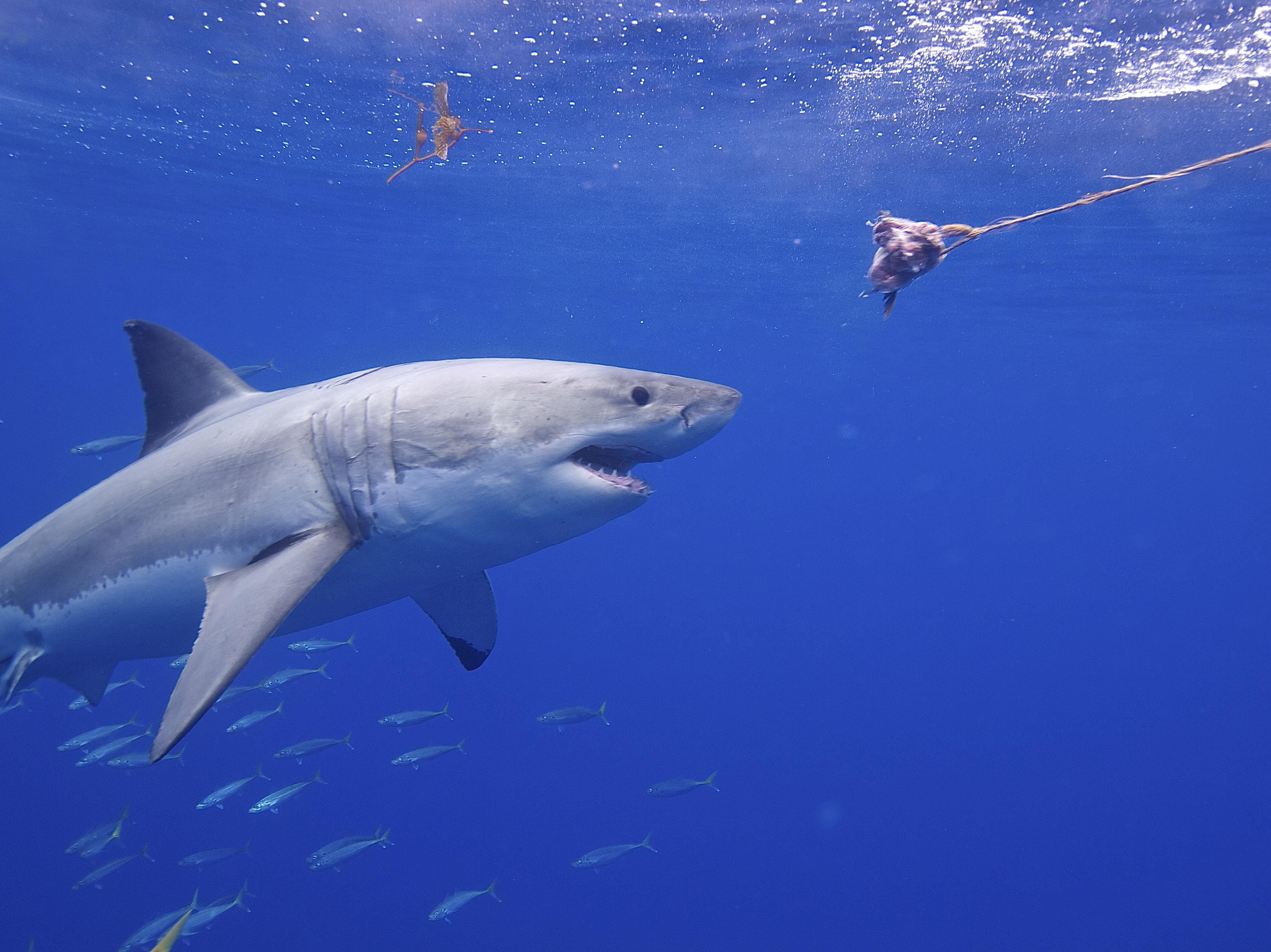 File Great White Shark