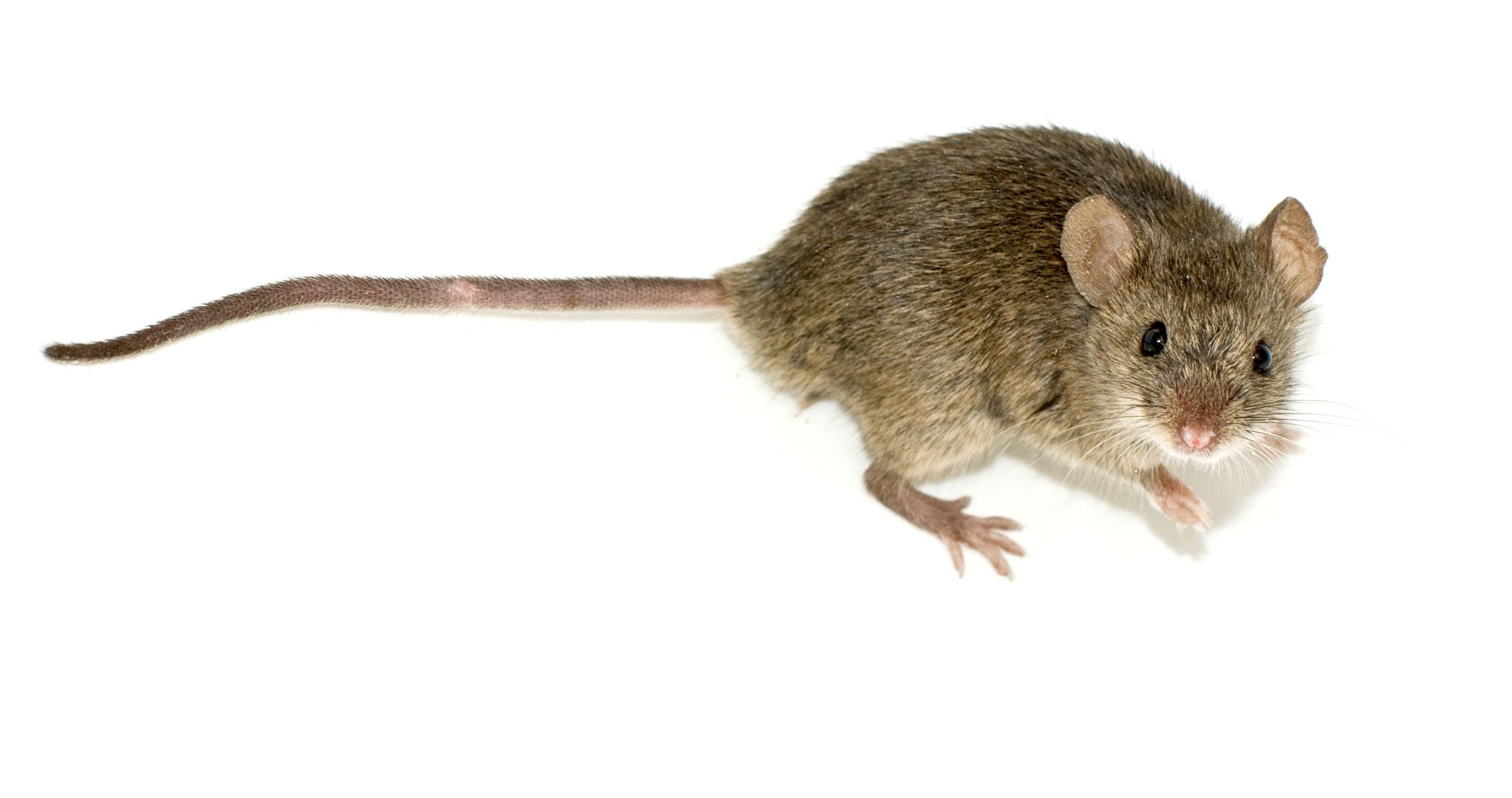 Resultado de imagen de ratones