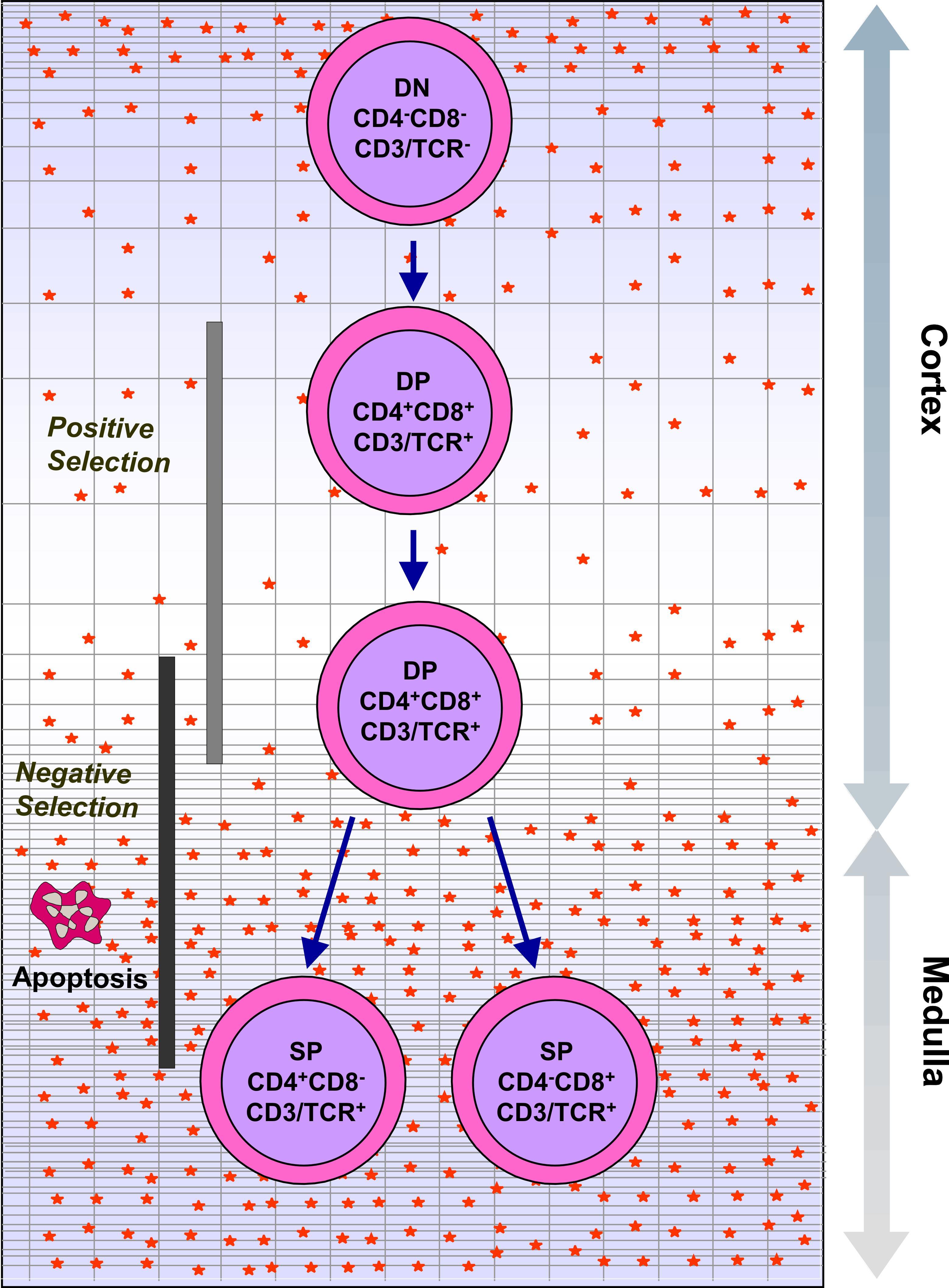 Cd8 Positive T Lymphocytes Suppressor T Lymphocytes Cd8