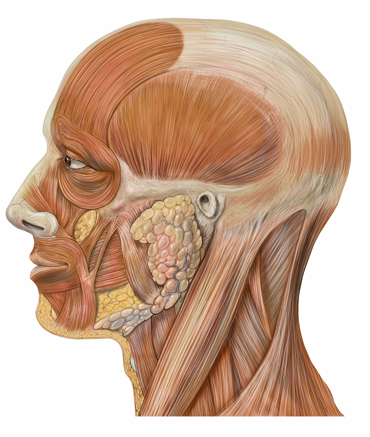 Facial Muscles Quiz
