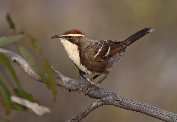 Chestnut Crowned Babbler Wikipedia