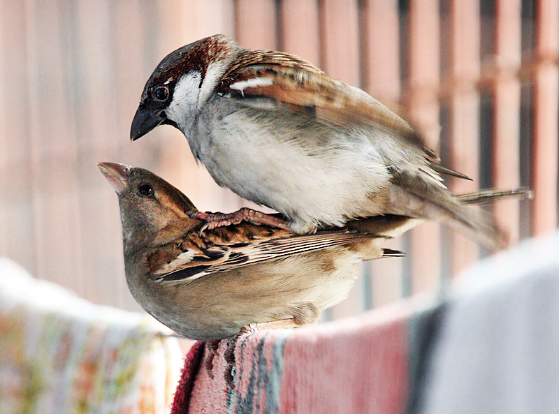 File:House Sparrows mating I IMG 0066.jpg