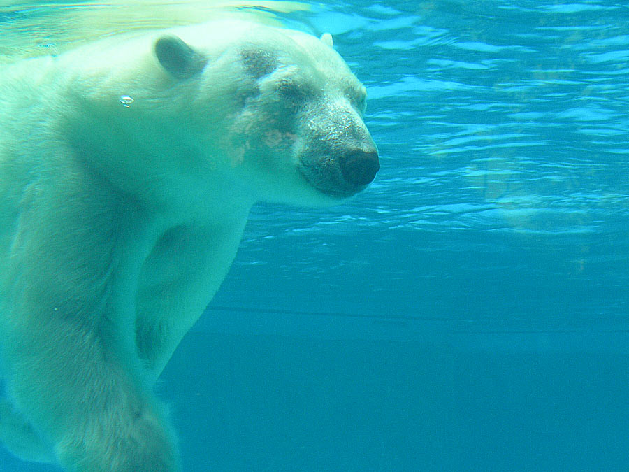 https://i2.wp.com/upload.wikimedia.org/wikipedia/commons/1/12/Polar_bear_under_water.jpg