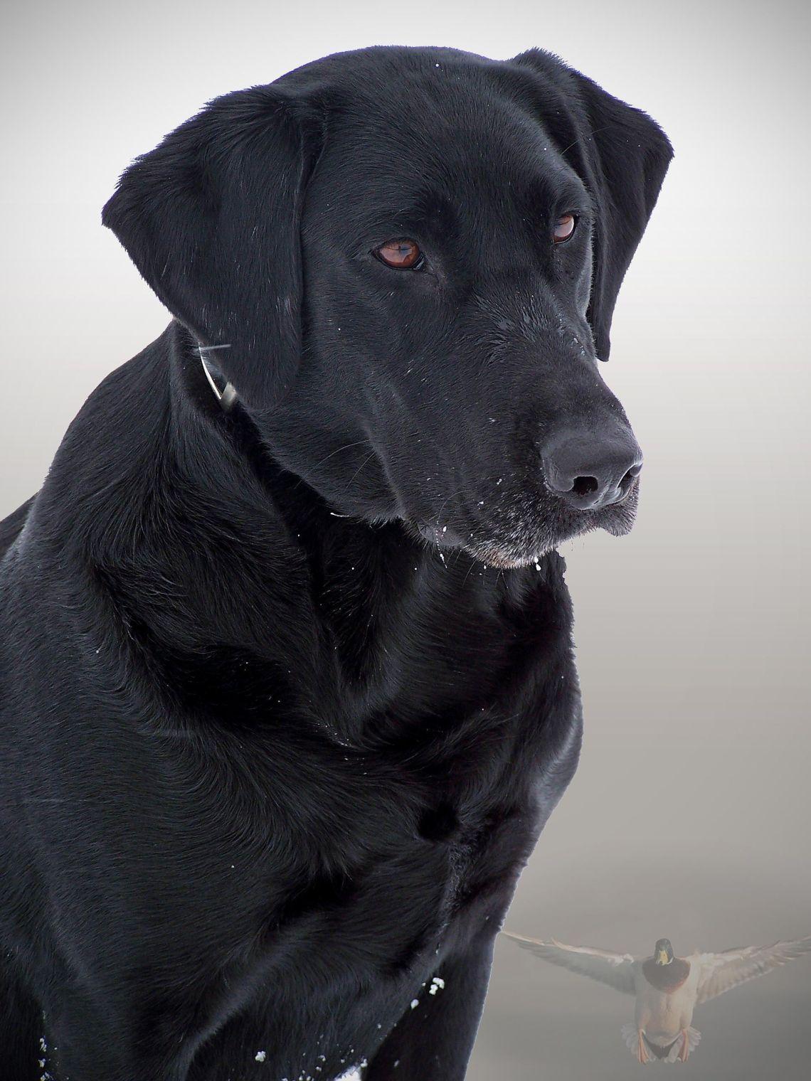 Black dog Pitbull Dog Black