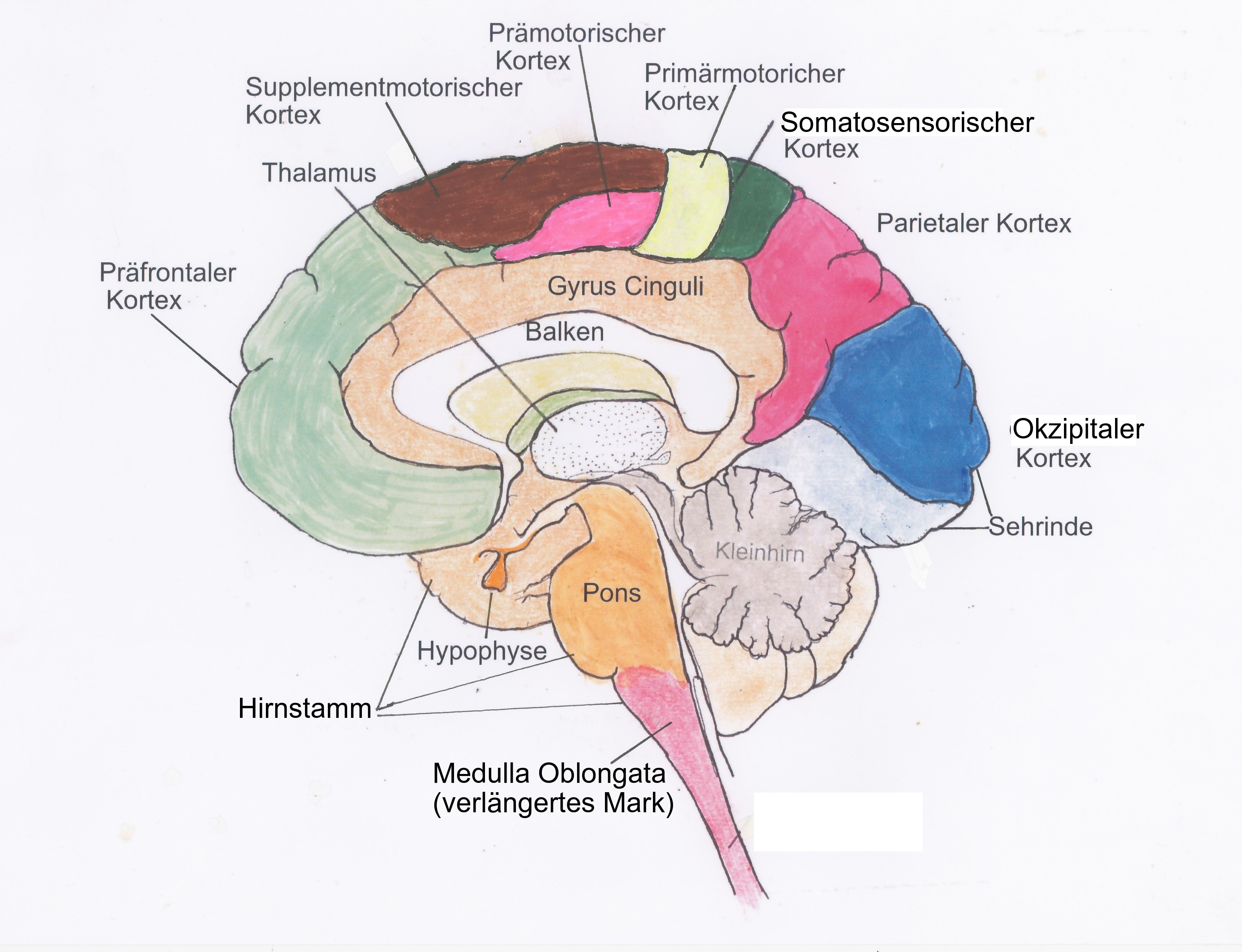 Drawing Of The Sections Of Human Brain