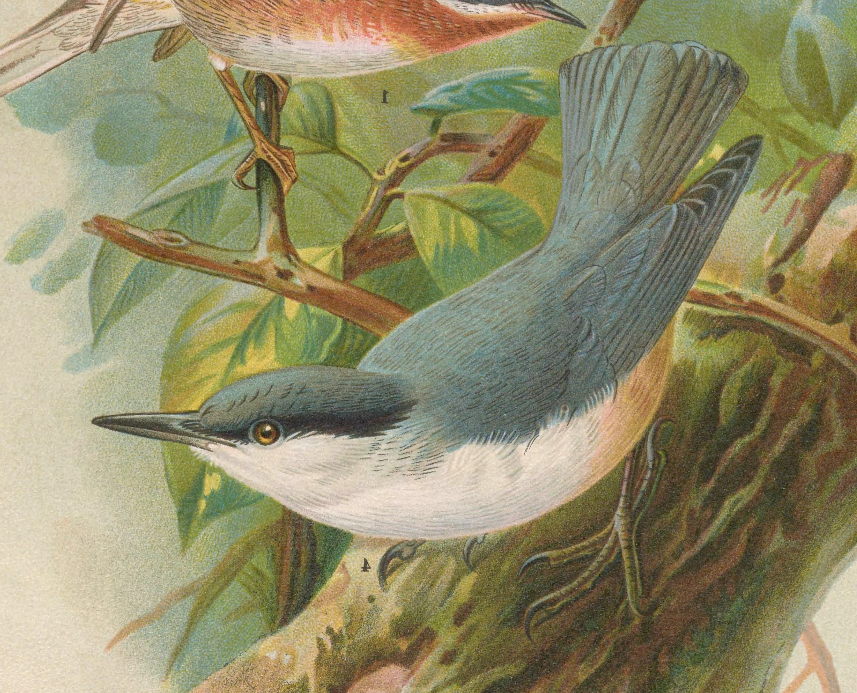 English: Illustration of a Rock Nuthatch