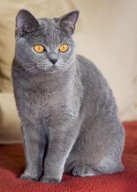 Filebkh Katze Blaujpg Wikimedia Commons