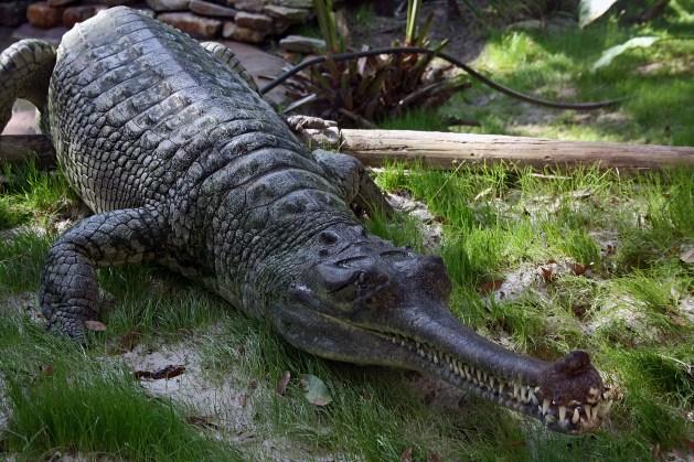 https://i2.wp.com/upload.wikimedia.org/wikipedia/commons/1/17/Indian_Gharial_Crocodile_Digon3.JPG?resize=629%2C419&ssl=1