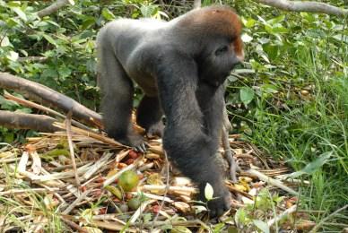 gorille - nourriture