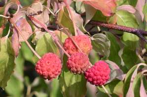 Image result for kousa dogwood