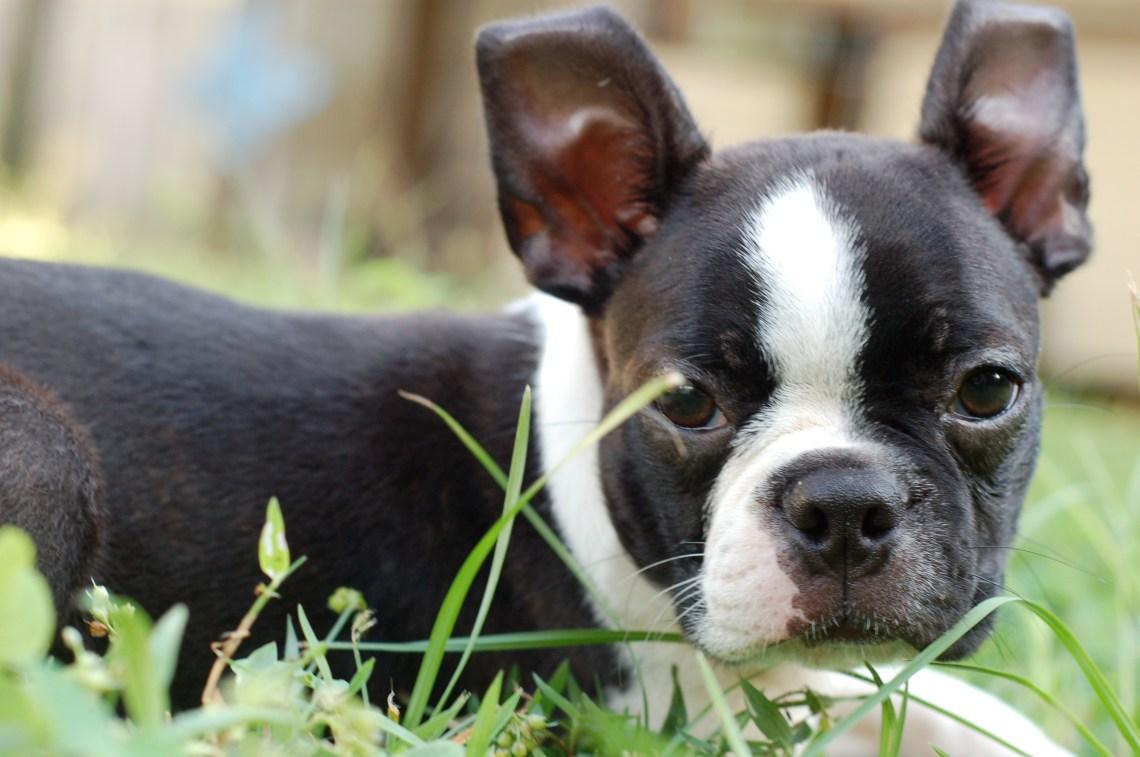 Boston Terrier Puppy 001 Pitbull Like Dogs