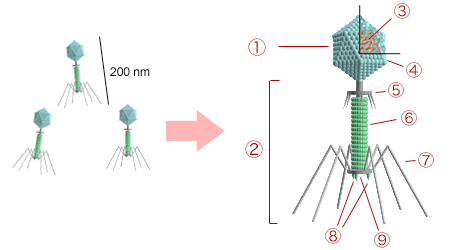 https://i2.wp.com/upload.wikimedia.org/wikipedia/commons/1/1b/Bacteriophage_structure.png