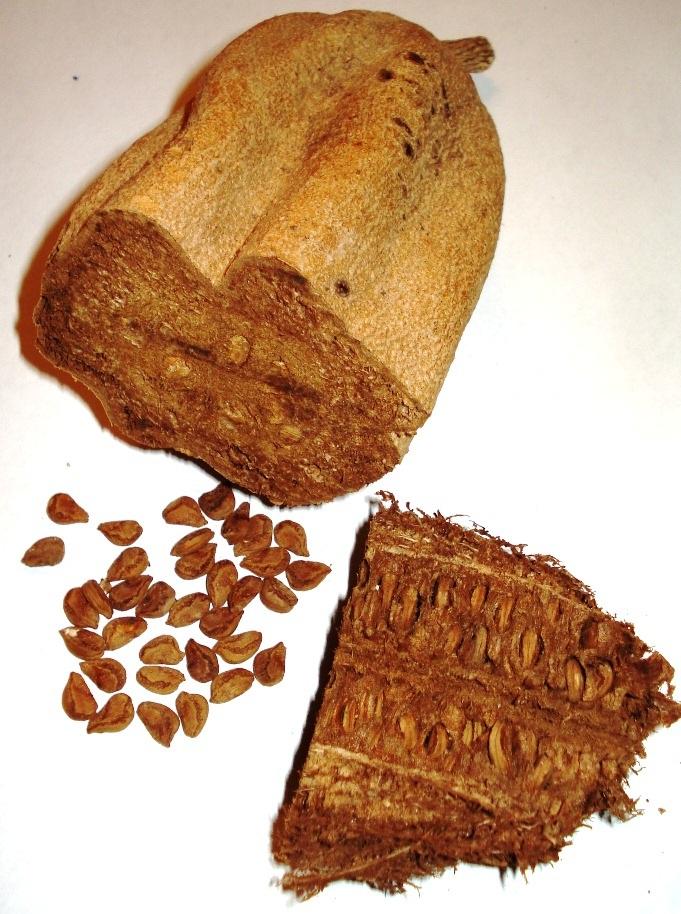 Buah sosis (K africana) dan biji kering