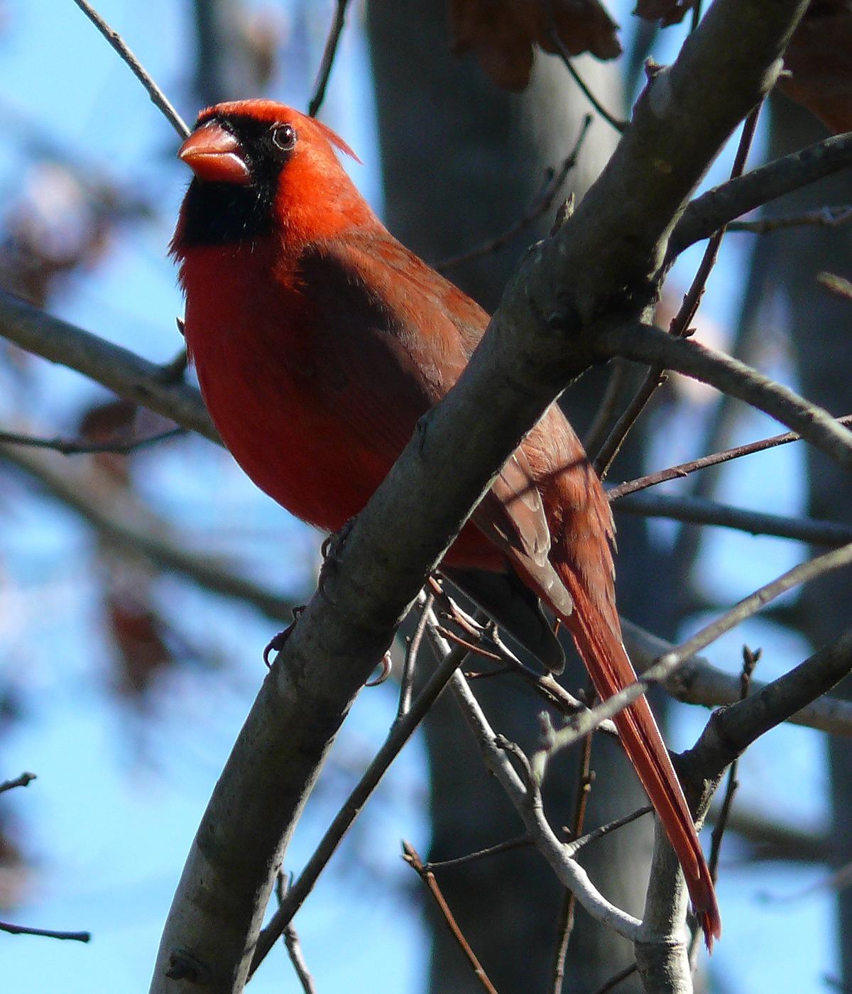 List Of Birds Of North Carolina