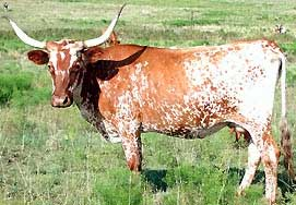 English: Texas longhorn (from http://kansaspar...