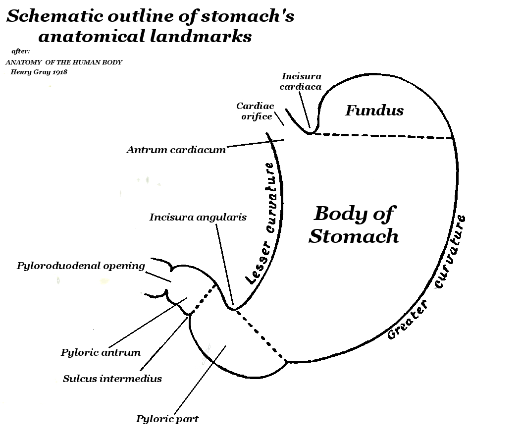 Ruminant Stomach Cardia Diagram