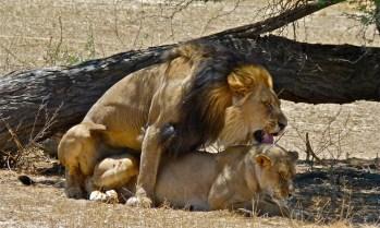 lion- lionne - accouplement