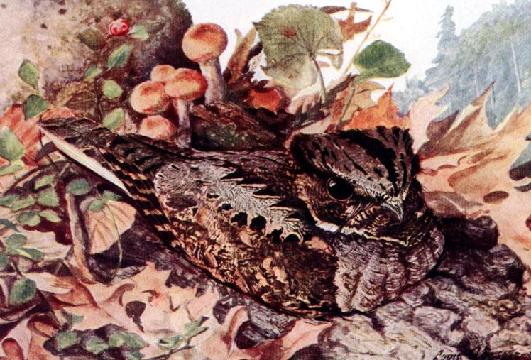 Caprimulgus vociferusAAP065B.jpg