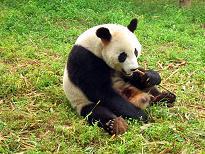 Chengdu-pandas-d04-small