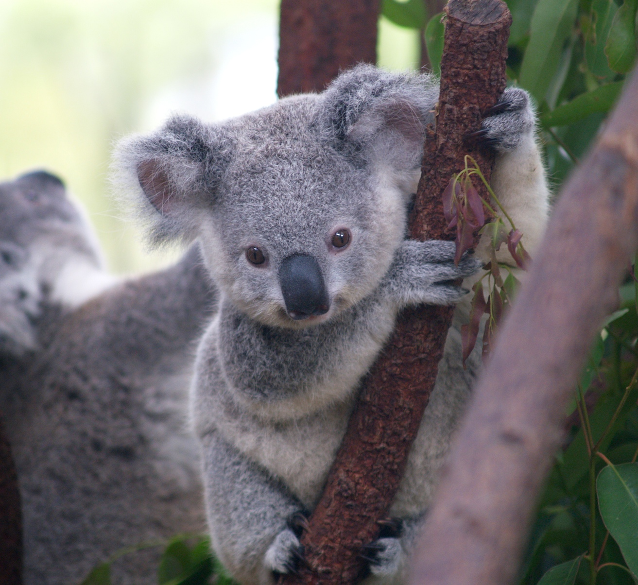 https://i2.wp.com/upload.wikimedia.org/wikipedia/commons/2/21/Cutest_Koala.jpg