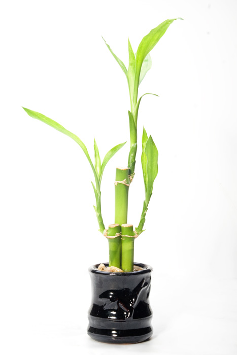 https://i2.wp.com/upload.wikimedia.org/wikipedia/commons/2/21/Lucky_bamboo.jpg