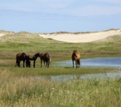 sable_horses