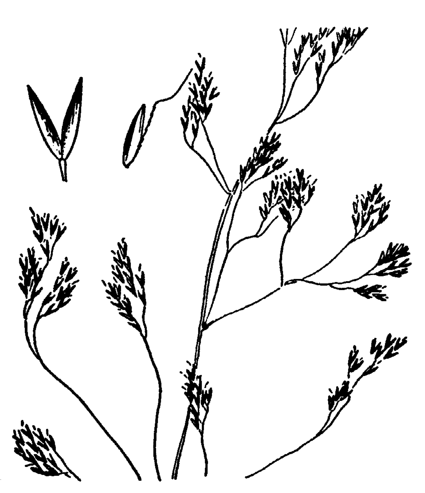 Bestand Agrostis Canina Drawing