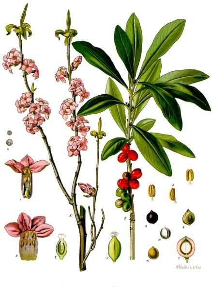 File:Daphne mezereum - Köhler–s Medizinal-Pflanzen-050.jpg