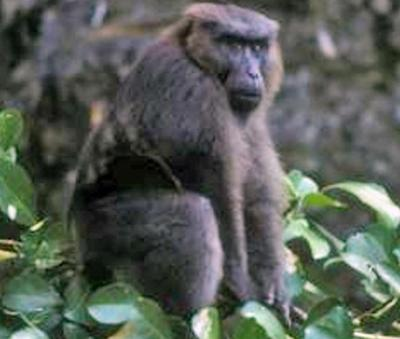 Moor macaque - Wikipedia