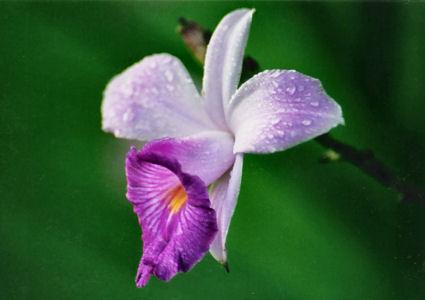 Flor da Arundina graminifolia