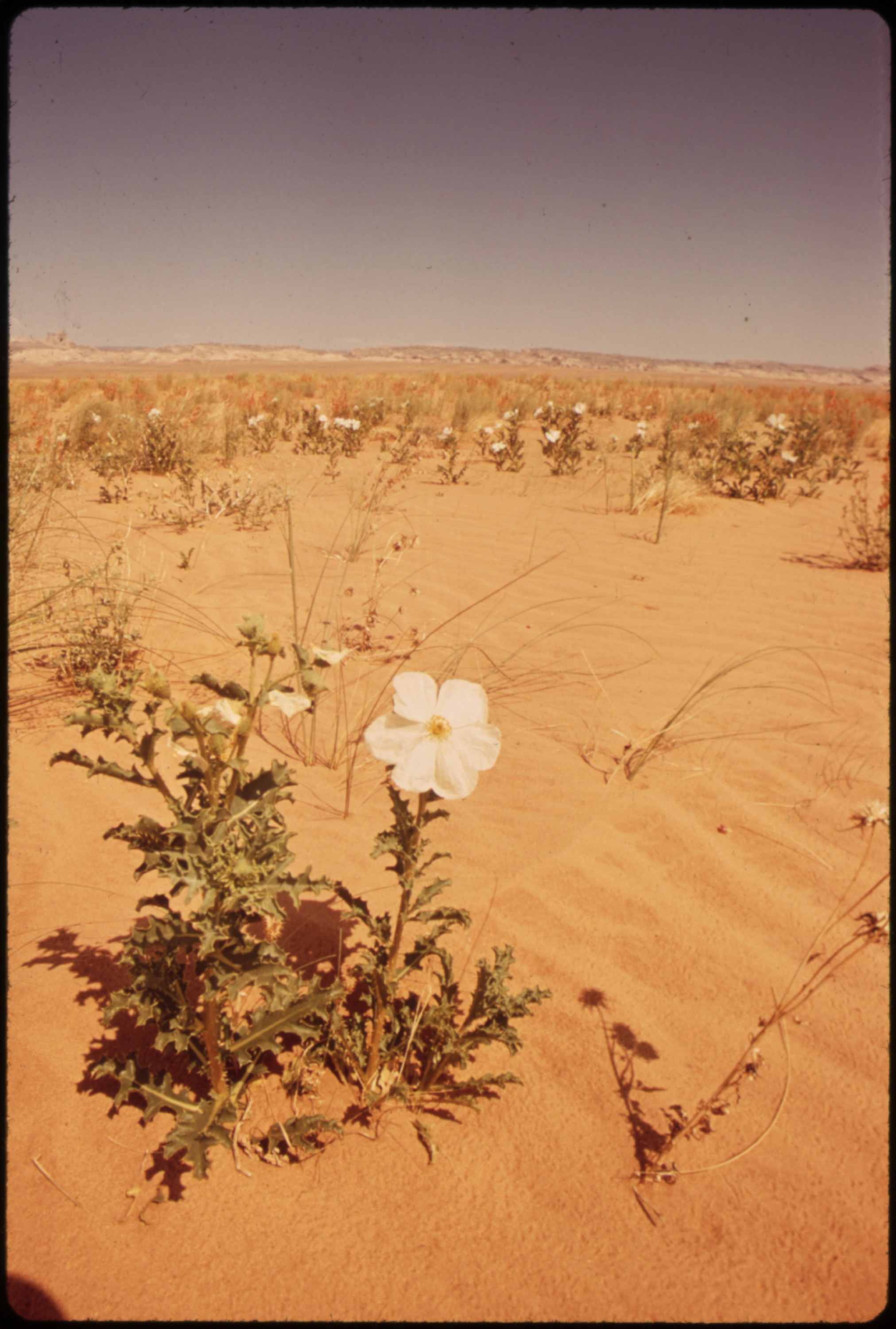 WHITE POPPY, DESERT FLOWER - NARA - 544879