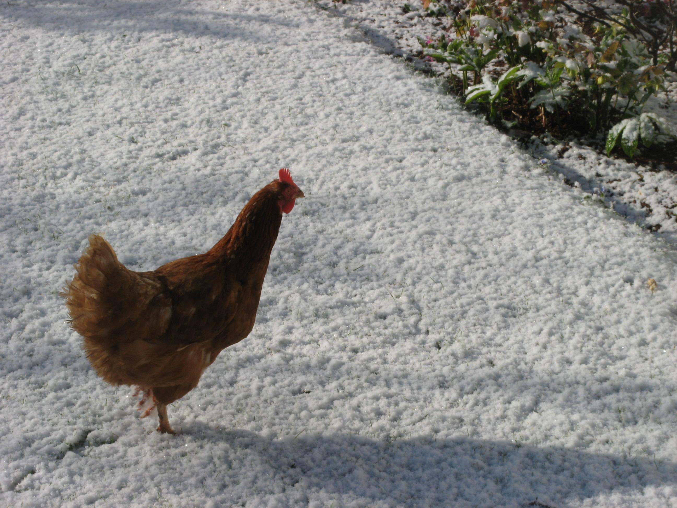 detroit chickens ferndale chickens