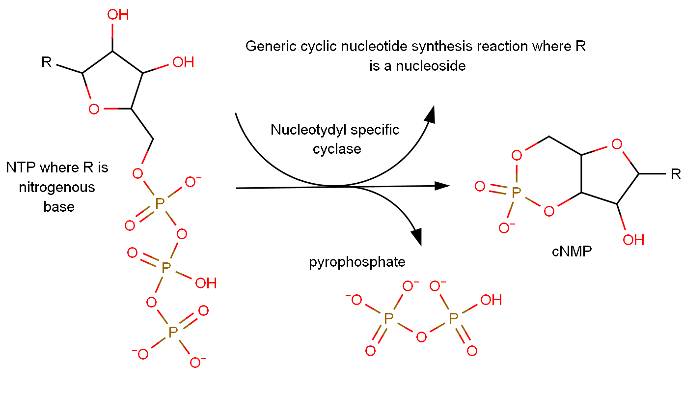 File Cyclic Nucleotide Synthesis