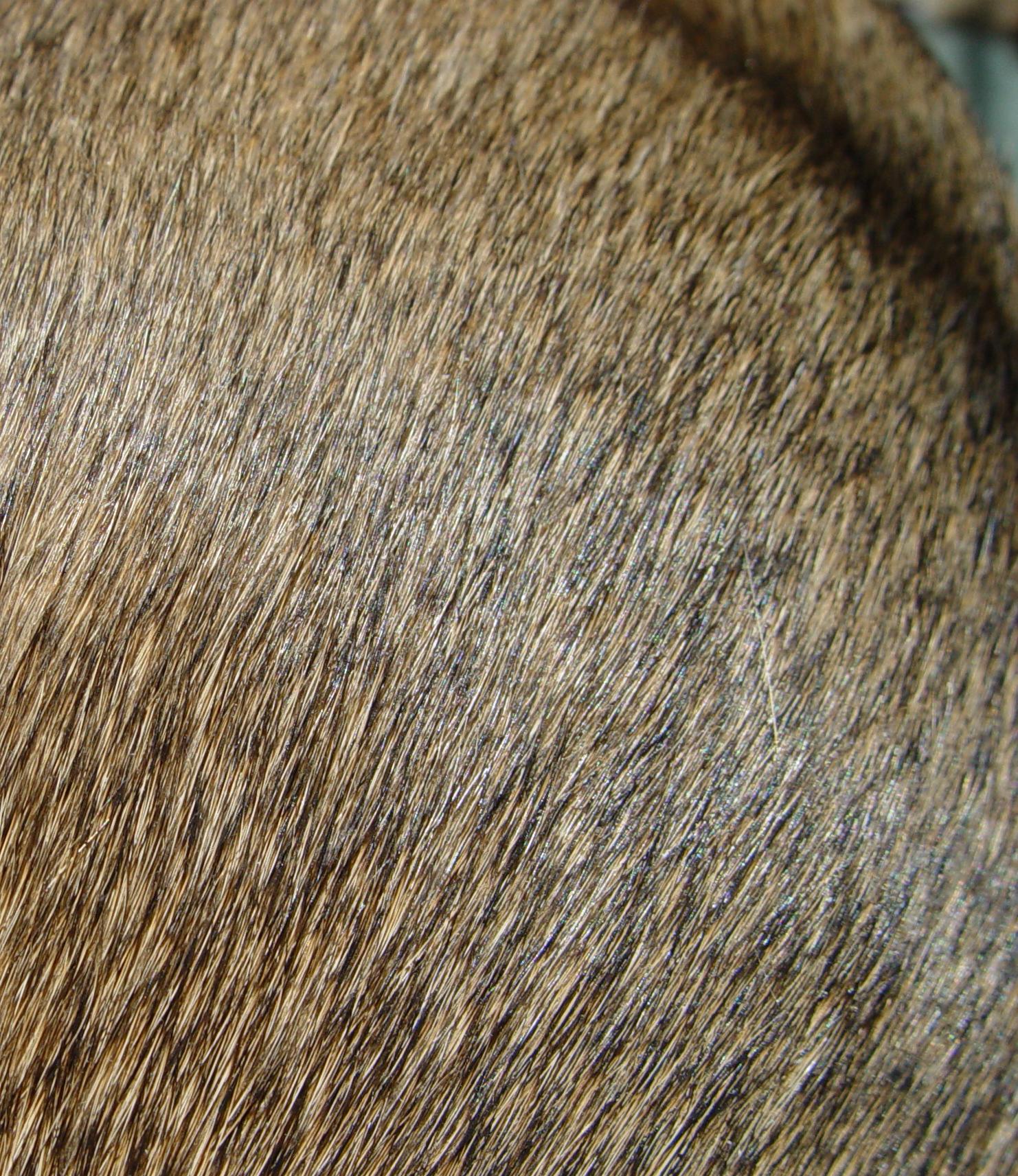 file greyhound fur brindle jpg wikipedia the free encyclopedia