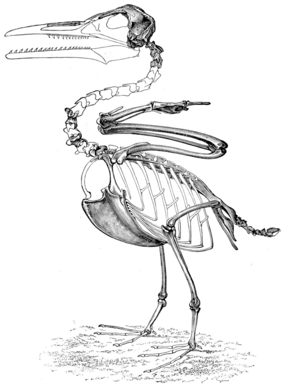 File Ichthyornis Skeleton