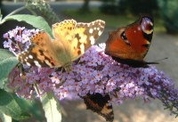 Buddleia flower with Peacok and Painted Lady butterflies. Photo by w:User:Jimfbleak at Wikipedia