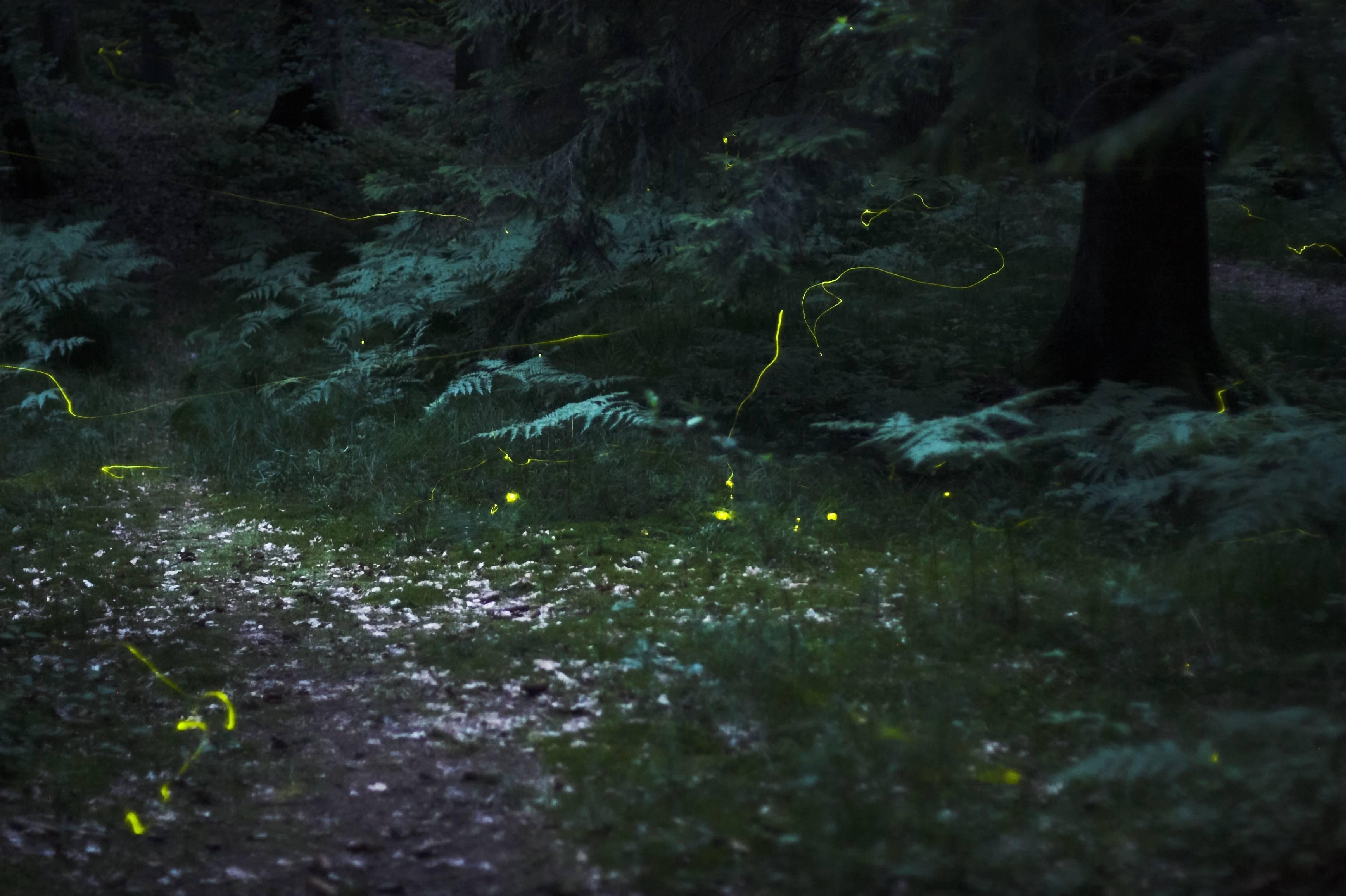Source: Wikipedia Fireflies at Night
