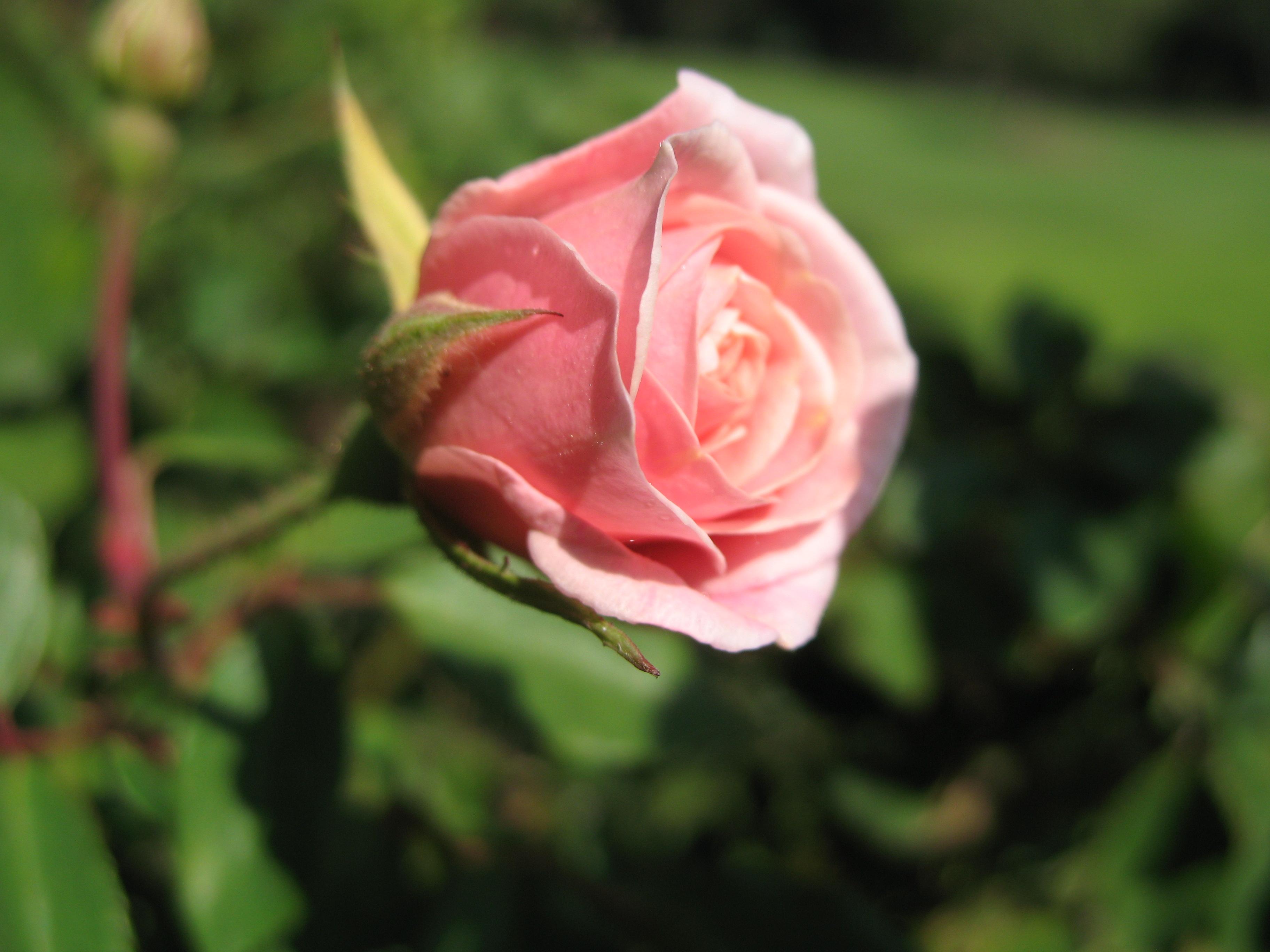Pink hybrid tea rose: opening bud. Photo taken...