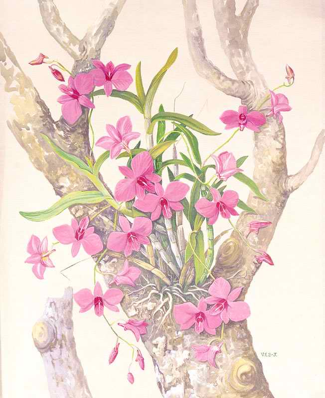 Cooktown Orchid (Vappodes phalaenopsis or Dendrobium bigibbum or Dendrobium phalaenopsis) by Vera Scarth-Johnson