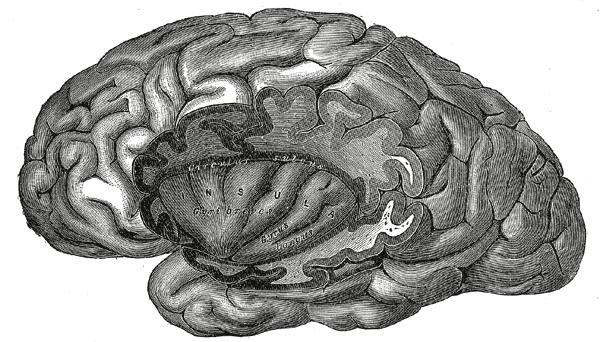 The insular cortex