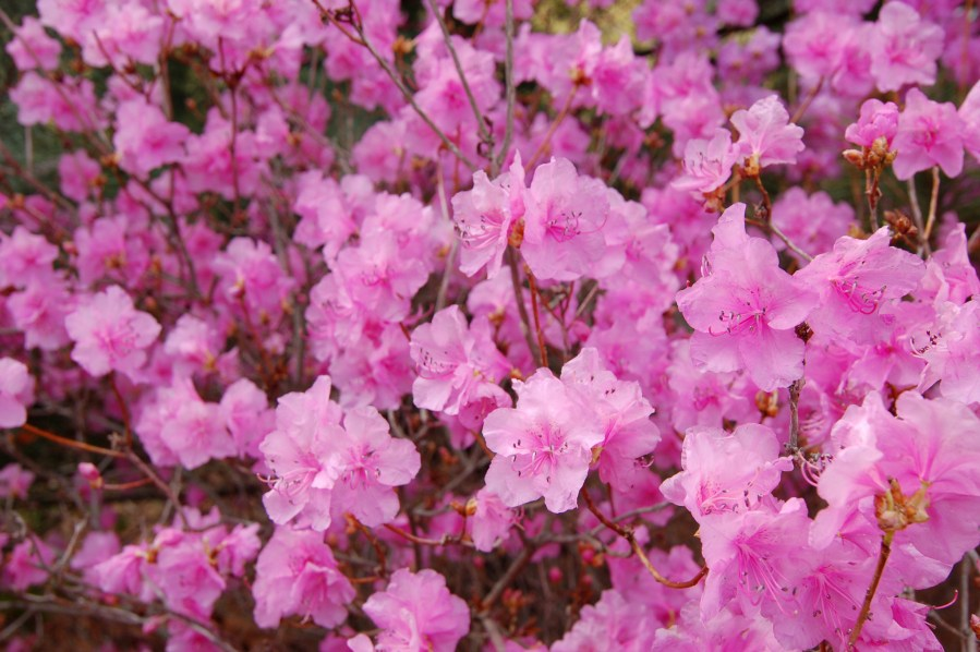 File Korean Rhododendron Rhododendron mucronulatum  Wheeldon Pink     File Korean Rhododendron Rhododendron mucronulatum  Wheeldon Pink  Flowers  jpg