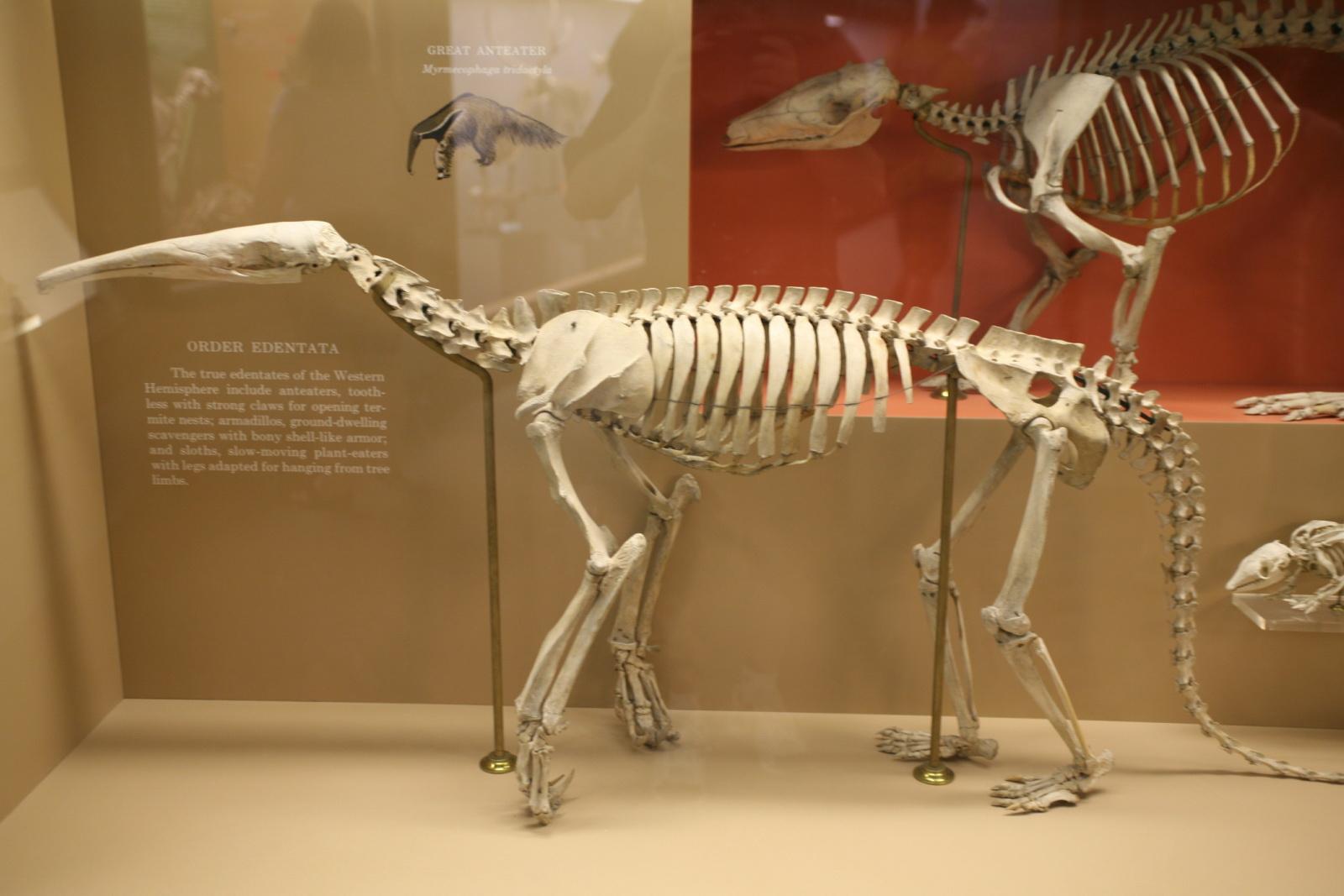 Myrmecophaga tridactyla skeleton by Cliff