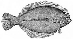 Flatfish are asymmetrical, with both eyes lyin...
