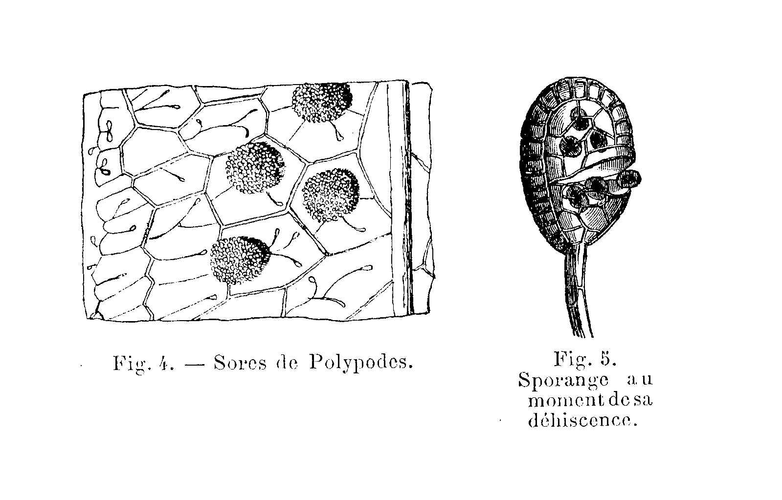 File Polypodes
